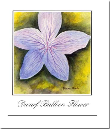 Dwarf Balloon Flower